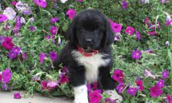 YO!  YO! I am Blake the black and white male AKC Newfoundland. I am sure to bring love to any family home. I was born on June 6, 2016. I will come up to date on shots and worming. They are asking $1199.00 for me. Do you think I am the perfect