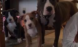 2 blue females and 2 fawn males. Pups are 13 weeks old. Thick and healthy. Great temperaments. Mom is blue and white. Dad is solid blue and 95lbs. Call for more info.