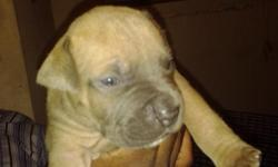 i have two pitbull puppies for sale a male blue fawn and a female blue/white female for sale they were born july 9 . blood line consist of bluesteel / razors edge . the blue pitbull  is the father and the blue brindle is the mother . the father is 85