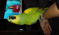 sell blue fronted Amazon is one female is 18 months is asking $ 700 firm manzo spoke Spanish 61964683