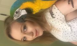 ISABELLA is a Blue and Gold Macaw about a year old, Female DNA tested. She is very loving and playful and will bond to you very quickly. She has a tremendous vocabulary, she can make you laugh. Perfect feather healthy has always been handled by children