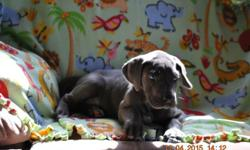 sweet little girl needing a home.she is very pretty and has a wonderful temeperment.Family raised.Small hobbie breeder loving the blue great danes.She is getting deowormed and will have her 1st shot next week.Then ready to go.Have a facebook page skyblue
