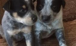 Beautiful Blue Heeler puppies for sale.  Males & Females.  Eight to choose from. Ready for new homes now.  Out of working dog stock.  First shots & dewormed.  $200.00 with papers.  Call Chelsey @318-575-9560.