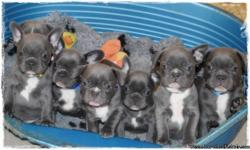 I have several BLUE FEMALES and Males French Bulldog. Blue is one of the RARE colors. Huge head, and flat face, lots of wrinkles!! One set of vaccinations, health guarantee and FULL AKC BREEDING RIGHTS. Microchip included. These pups will sell for