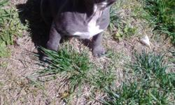 i have 2 female pits that are wateing for a home, they are 6 weeks old, really playfull helth they have theres first shots, i have the pareints on site for more info , you can reach me at (951) 255-?3091