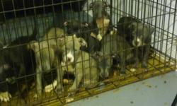 3 girls 300 5 boys 250 they have had there first shots and have been dewormed they are 2months 77days old