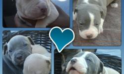 Blue Nose Pitbull Puppies. 7 females 5 males. Born 1/22 will be ready to take home 3/08. Beautiful puppies, parents on site. Females $250 Males $200. First shots given. Mark 916-308-3386