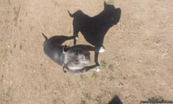 Blue nose Pitt bulls 6 weeks old I have 4 males an 6 females give me a call at 719 201 4565 I have a picture of the dad an some of the pups on here I need them gone so if serious then call me my names kyle