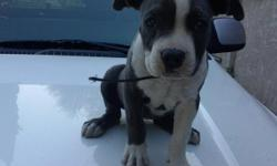 Female grey and white blue pit 2 months old iam selling her because i just found out that i cant have dogs at my house call before its gone 323 540-2591