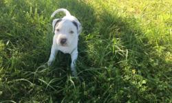 Purple ribbon UKC registered Certificate of registration uponpayment last puppy for sale at a great price of $400.00 8 weeks old mom and dad on property both UKC registered