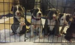 I have five puppies 4 girls 1 boy. I am asking 500 they were born December 19 2013 and will be ready to go to their new home on February 14th 2014 I have 2 females sold already I am Talking deposits now I have both parents on premises very well tempered