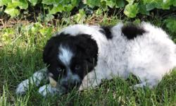 Beautiful AKC Boarder Collie Puppies weeks old.  One is extreamly rare white short hair with snub tail!!!!!