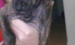 Boggle (Beagle/Boxer mix) puppies for sale. Two puppies, one male and one female, they are about 7 1/2 weeks old. Both are dark brown, brindle color. The male has white markings on the chest, and the female only has white marks on both