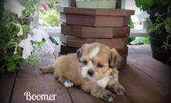 MEET BOOMER!! He is our beautiful, cuddly little AKC Lhasa Apso puppy!! He was born on June 5, 2016 and will be ready to go to his new home around July 31. Boomer is just adorable...mostly brown with white markings on his face, ect. He will come current