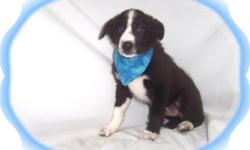 This baby boy is darling. He has been raised with children and has a very sweet personality. He will make a great family pet. He is micro chipped. He comes with his first series of shots, wormings and a Vet Health Certificate. He also comes with a
