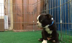 """Handsome Black Brindle and White Boston Terrier! He was born in a warm loving home on 5-26-2016. His price is $968. Comes from the planned breeding of """"Dennis the Menace"""" and """"Sally Jo"""" He has his shots and wormings and has been vet checked. Let us fax"""