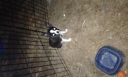 I have a 5 month old full blood boston terrier he is a great pup he is house train if u take him out offen if interested call 304-650-8807 or text