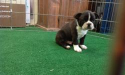 """Handsome Black and White Boston Terrier#99 He was born in a warm loving home on 5-26-2016. His price is $968. Comes from the planned breeding of """"Dennis the Menace"""" and """"Sally Jo"""" He has his shots and wormings and has been vet checked. Let us fax you his"""