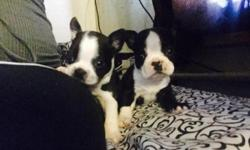 Purebreed Boston terrier puppies first shots dewormed no papers