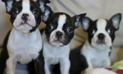 AKC Boston Terrier pups 2 males Champion sired great show potential. Hand raised in our home with lots of love. 2 male pups sire is Champion sired all pups have first shots been wormed and have declaws removed. Price range for pups is 700 to 900 for these
