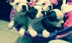 VERY BEAUTIFUL BOSTON TERRIER PUPPIES I HAVE 3 LEFT ONE HAS BABY BLUE EYES. i HAVE A BRINDLE AND WHITE AND BLACK AND WHITE  AMBER 317 285-9813