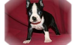 This baby boy is a great little puppy. He has a very nice personality. He has been raised with children so he knows how to play. He is ready for a new family to love.He comes with his first series of shots, wormings and a Vet Health Certificate. He also