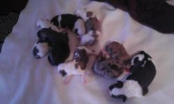 1 brown female 2 black and white with brown spots 1 male 1 female. And the rest look like the australian shepard an there 4 1 female the other 3 are male