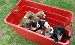 We have three CKC registered boxer puppies left and they are ready for their new homes. We have all females, magahoney w/black mask and two flashy fawn $550. They have all had dew claws removed and tails cropped and are up to date on shots and health