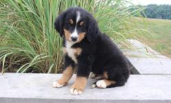 Say hello to Brett and he is a cute tri-color male AKC Bernese Mountain Dog! This little one is fun-loving, loves to play ball and take long walks by your side. He was born on June 3, 2016. His mom weighs 85 lbs and is AKC registered. His dad