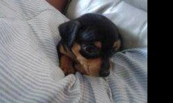 black and tan miniature pinscher chihuahuas house born moms purebred black and tan pops 1/2 breed black and cream min pin and chihuahua very playful very cute