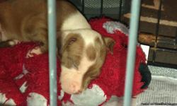 brown with white markings pit pup 5 weeks old very active an playful. if interested in himplease give me a call Q 770-596-6760