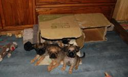 Only two left adorable rough coat males 8wks old wormed and first shots parents ACA and Continental Club Champion blood lines