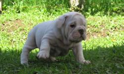bull dog puppies loving caring and for free