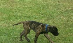 Male Brindle Bull Mastiff Puppy Mom is AKC and her color is Fawn Father has a registration number but not AKC, his color is Brindle We are in need of a loving home for this pup Born: January 17, 2016 Serious Inquiries only pictures below are of the puppy