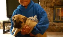 i have 4 bull mastiffs puppies for sale 3M 1F. they are 8 weks and have there 1st set of shots. there mom is akc and the dad is ckc registered.