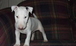 Gorgeous male and female bull terrier puppies. AKC registration with full breeding rights. Great build with awesome head shape. Will def. be a head turner! Will make great dog for anyone who wants to show bull terriers or just a great family pet. Will