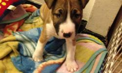 Beatiful male 2 months old, he's playful and healthy. This English bull terrier it's register at ICA( international canine association). He has a great background.