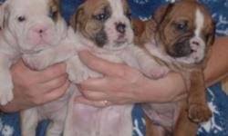 Beautiful Miniature English Bulldog Puppies. Registered, Vaccinated and health guarenteed. 1 female and 3 males. 605-390-7295katherine