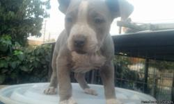 bully pups 9 wks shots,dewormed ukc registered $200 --
