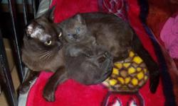 People lover male. Bedroom raised. shots, parents avail, shots, wormed, special kitten for special families.