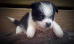 Cairanian Cairn Terrier / Pomeranian Hybrid Dogs Wonderful pups full of energy All shots and dewormings One year health agreement. 434 265 3982 txt/ call 434 372 4144 land line