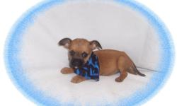 This baby boy is full of pep. He has been raised with children and is very good-natured. He would love a new family with kids to play with. He is a Cairn Terrier and a Cavalier King Charles Spaniel mix.He is micro chipped. He comes with his first series