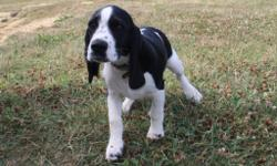 HI! I'm Caleb, the charming black and white maleBeagle and Cocker Spaniel Mix! I can't wait to have my very own family to pal around with. I was born on April 17 2016!They're asking $499.000 for me! I'll come with my shots and worming to