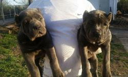 Big blue iccf akc cane corso puppies, all pups come with health guarantee, tails docked,dewclaws removed, current on shots and worming, shipping available, ears cropped by our vet, for additional $235, contact 314-761-3483