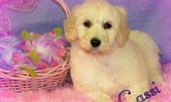 Do you think I'm pretty? If so, then Hi, There! I'm Cassi! The lovable Female F1B Labradoodle! I'm too adorable! I'm good with other pets and kids. I was born on December 22nd, 2013! So many people seem to like me for my name, my soft, fluffy cream