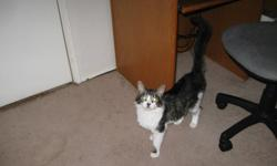 1 year old neutered male cat free to good home; Sir Lancelot is a kitty I rescued; he is a gray and white tabby that isvery easy going and gets along well with other cats.