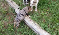 3 girls 1boy 9 weeks Healthy puppies Been wormed