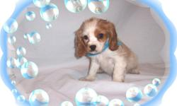 This baby boy will steal your heart. He is a big cuddler. He has a very nice and sweet personality. He is a Cockalier- His Mom is a Cavalier & Cocker mix and his Dad is a full Cavalier. He is ready to love a new family.He comes with his first series of