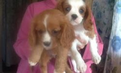 Cavalier King Charles spaniel puppiy.Born 7-22-14. One Blenheim $275.First2 shots and wormed. Call715-654-5039. will post updated pix later.