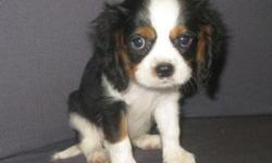 1 Male Tri-Color Cavalier King Charles Spaniel born on 6-4-11. UTD on shots and comes with a health warranty. *?* Credit Cards Accepted (Visa/MasterCard???) ** Financing Available (Please Inquire) ** Shipping Available ** Microchipped ? ** AKC Registered